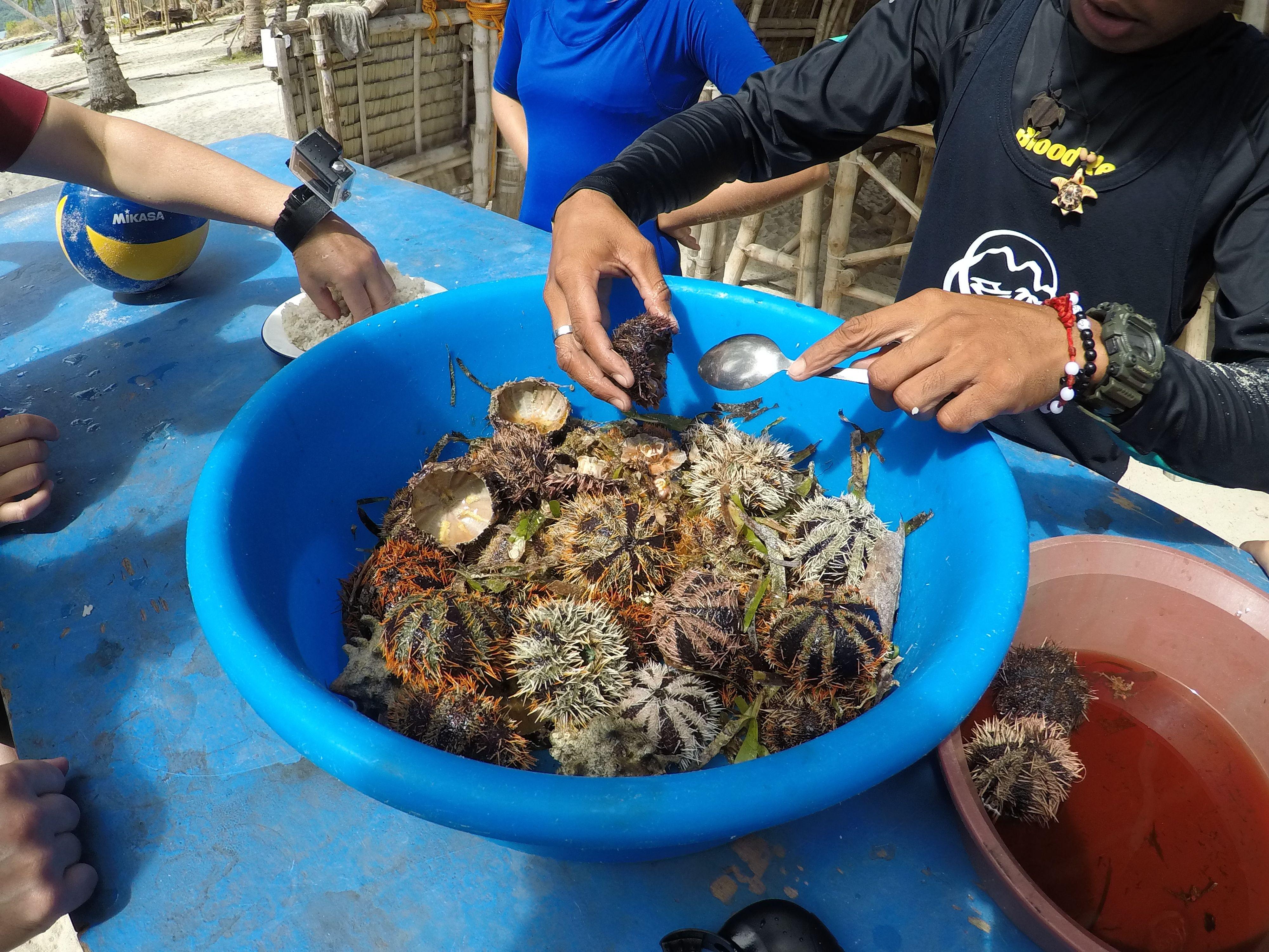 Oursins tout juste pêchés - Tao expeditions