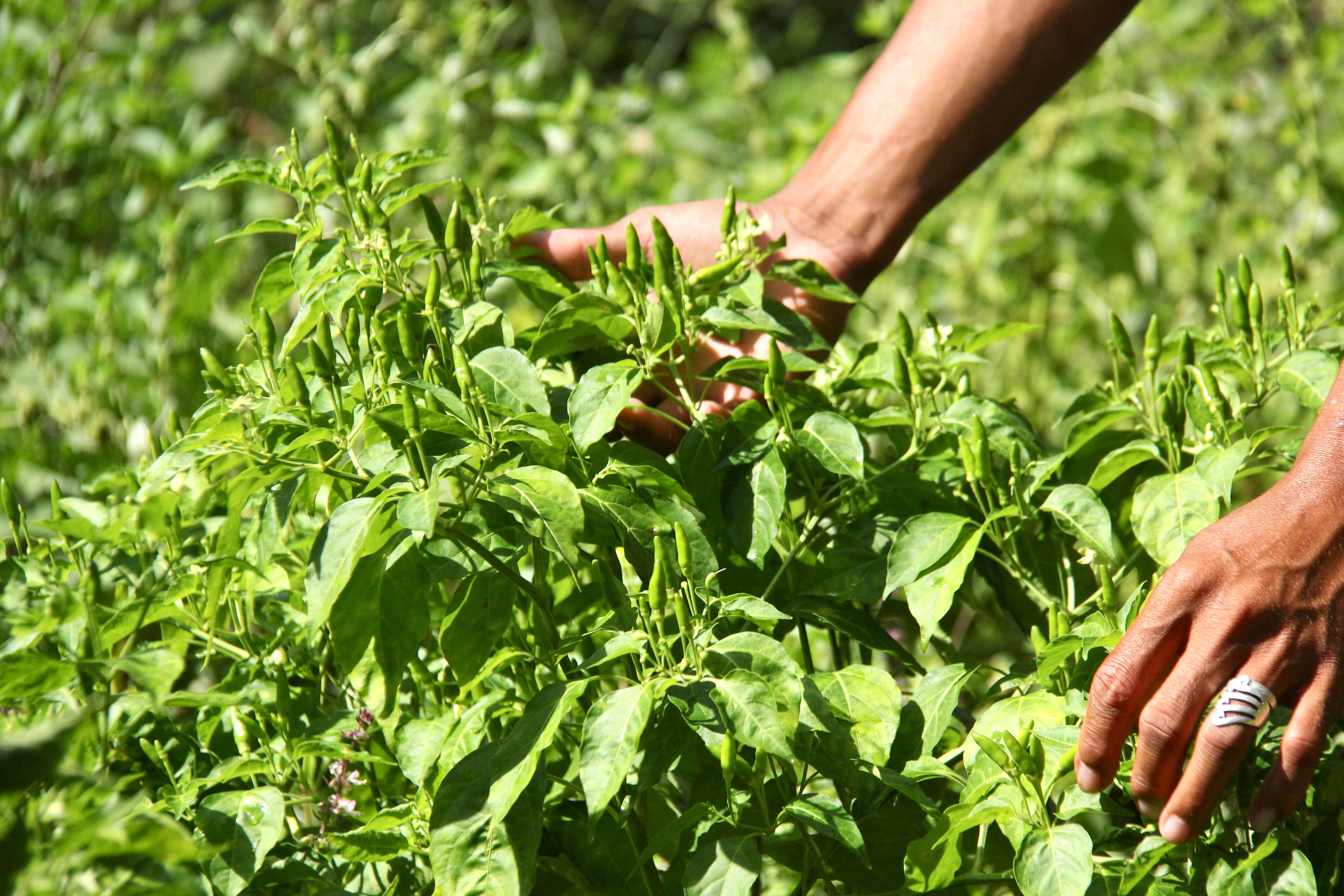 Piments en permaculture Tao farm Palawan