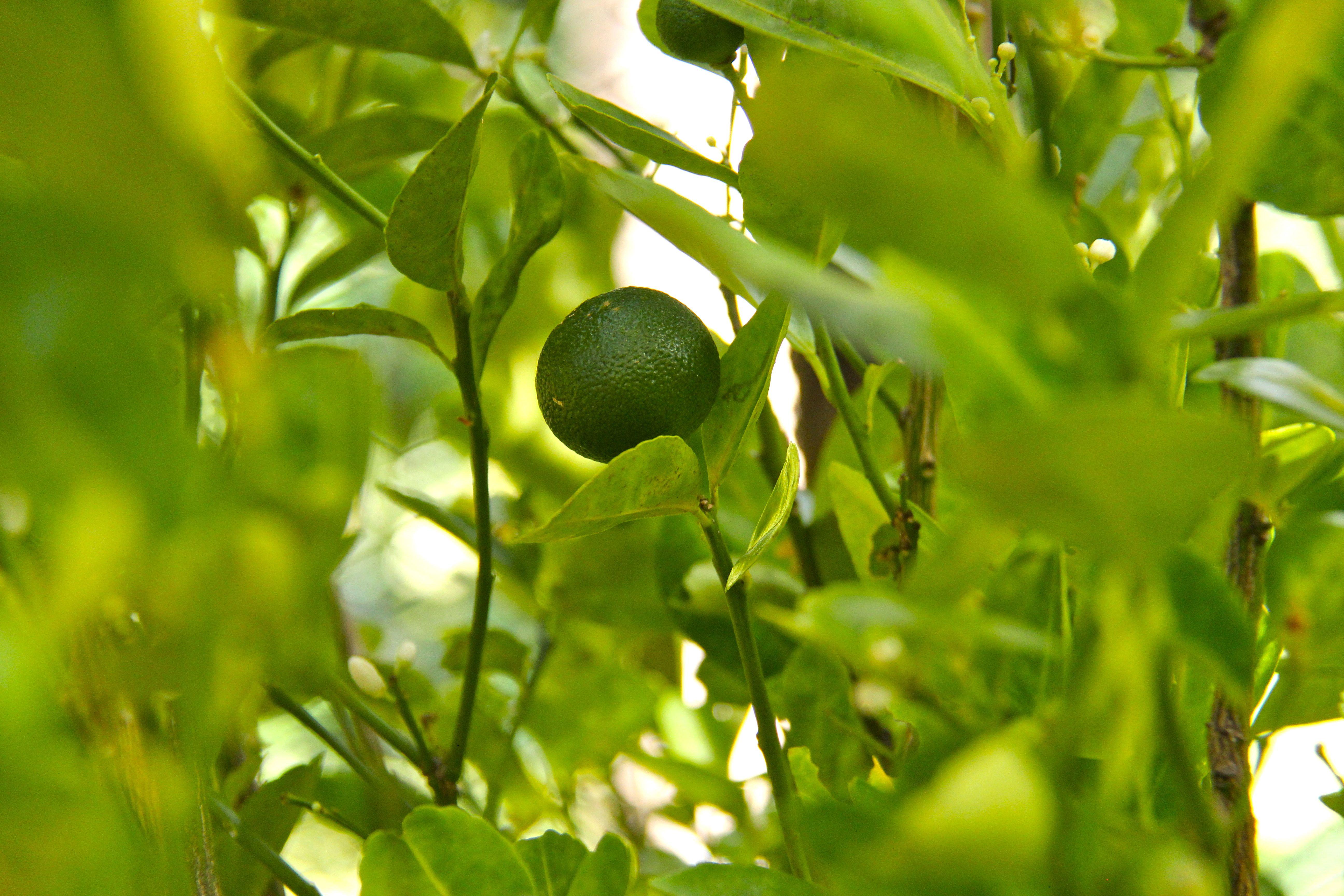 Kalamansi - le petit citron parfumé philippin Tao farm Palawan