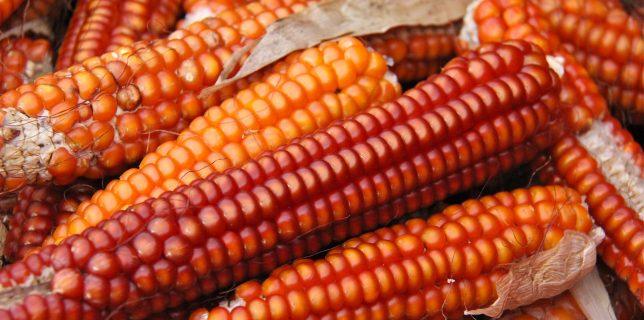 La récolte du maïs des frères Pacifico