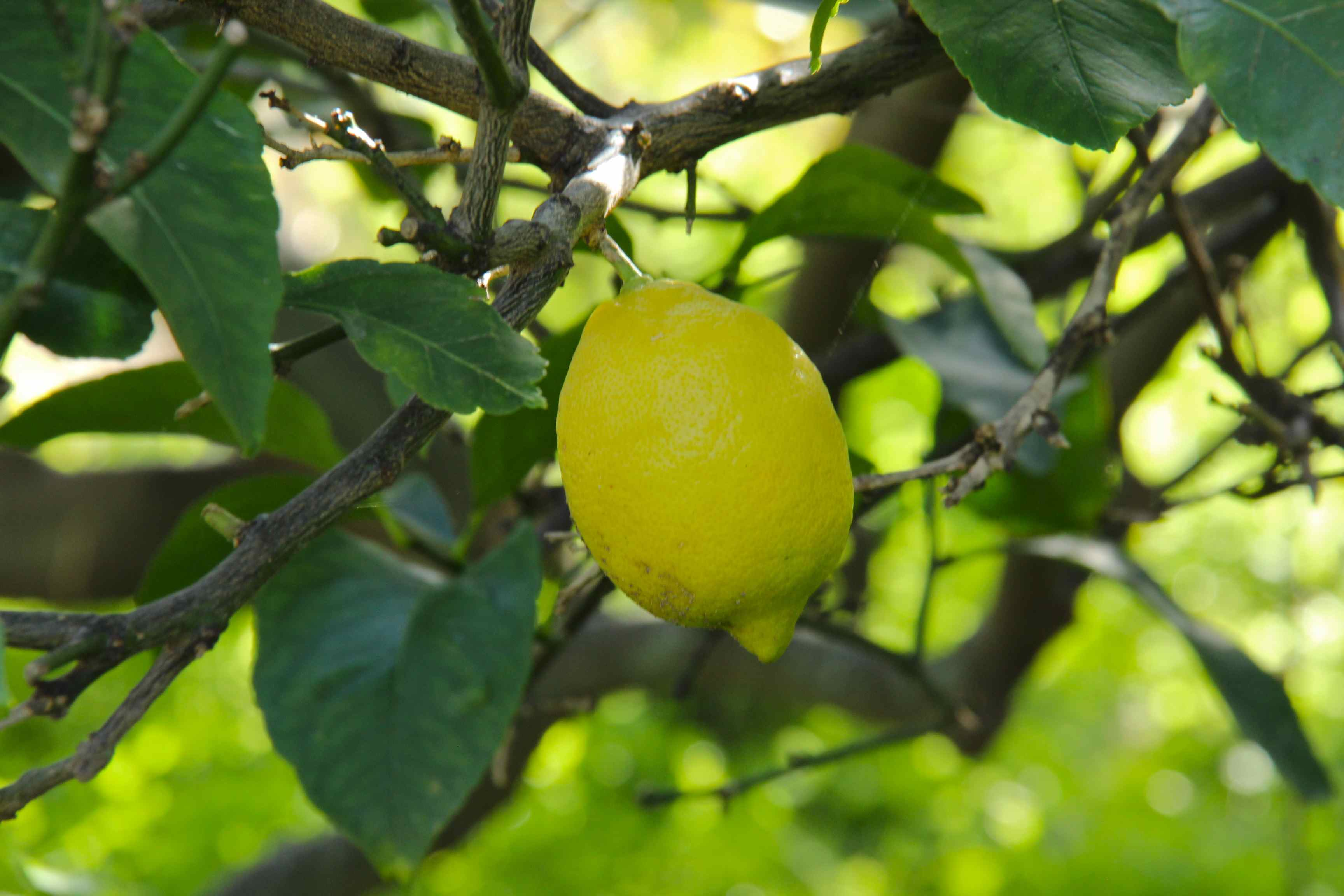 Citrons de Jean-Noël Falcou