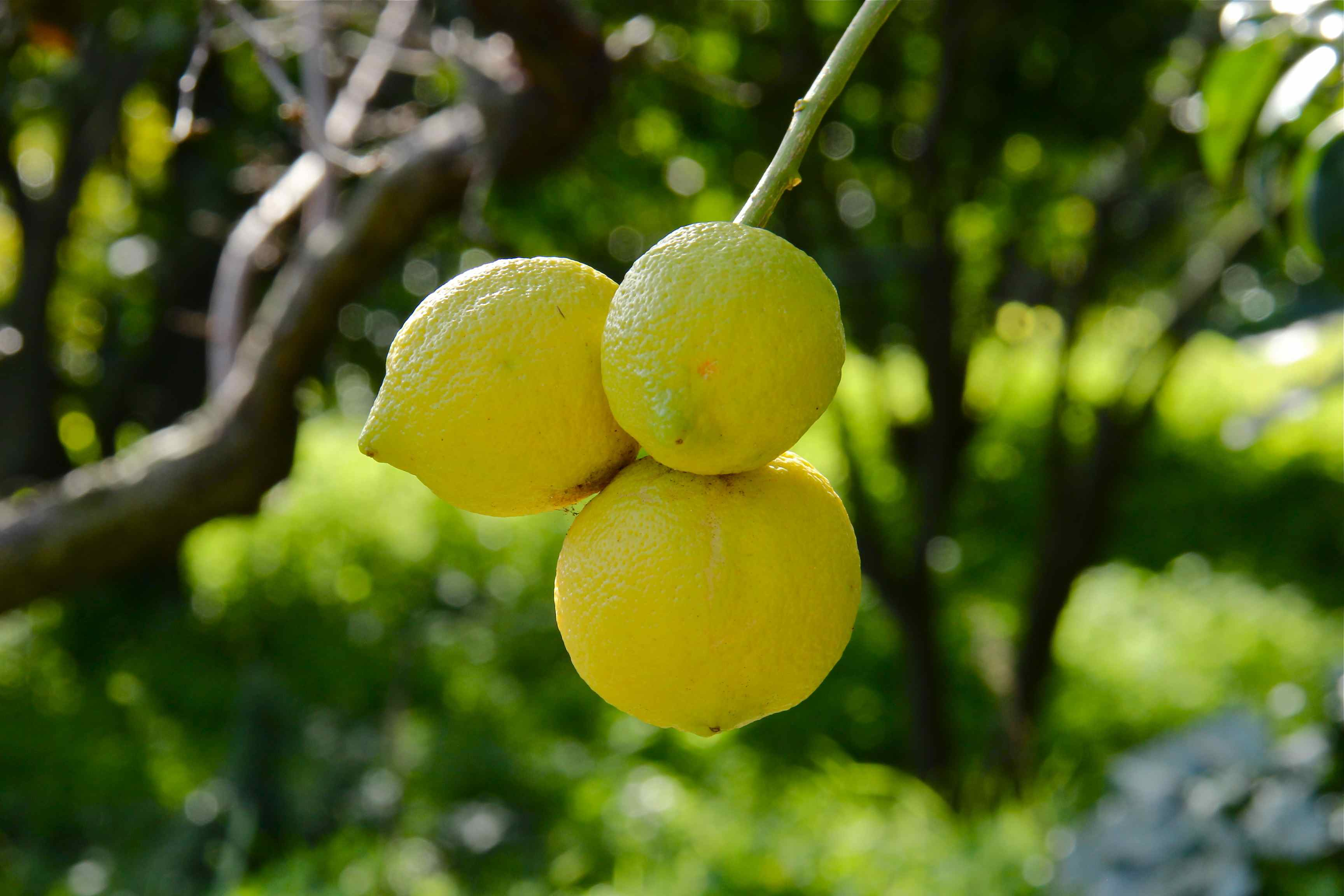 Citrons de Golfe Juan