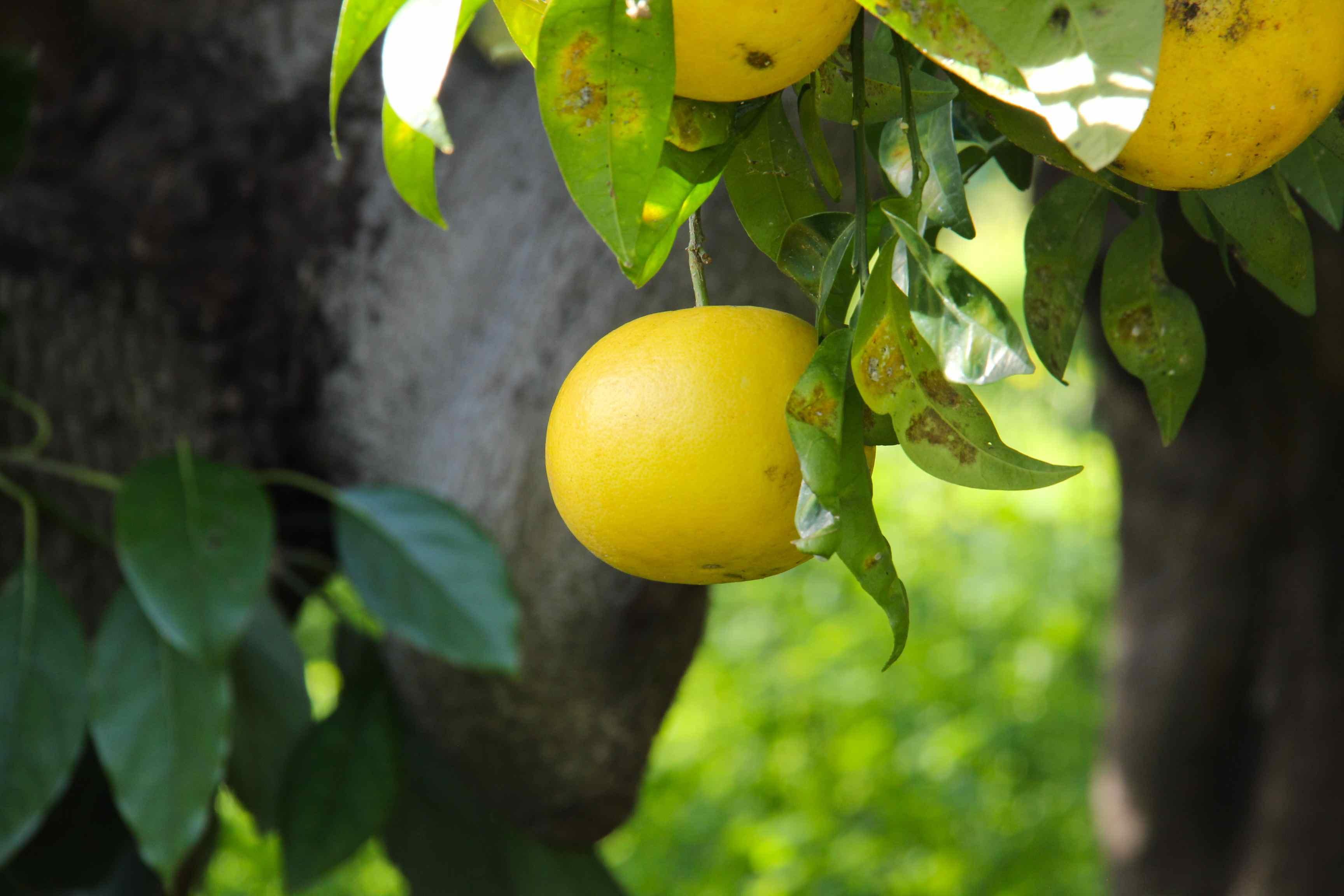 Pomelos blanc