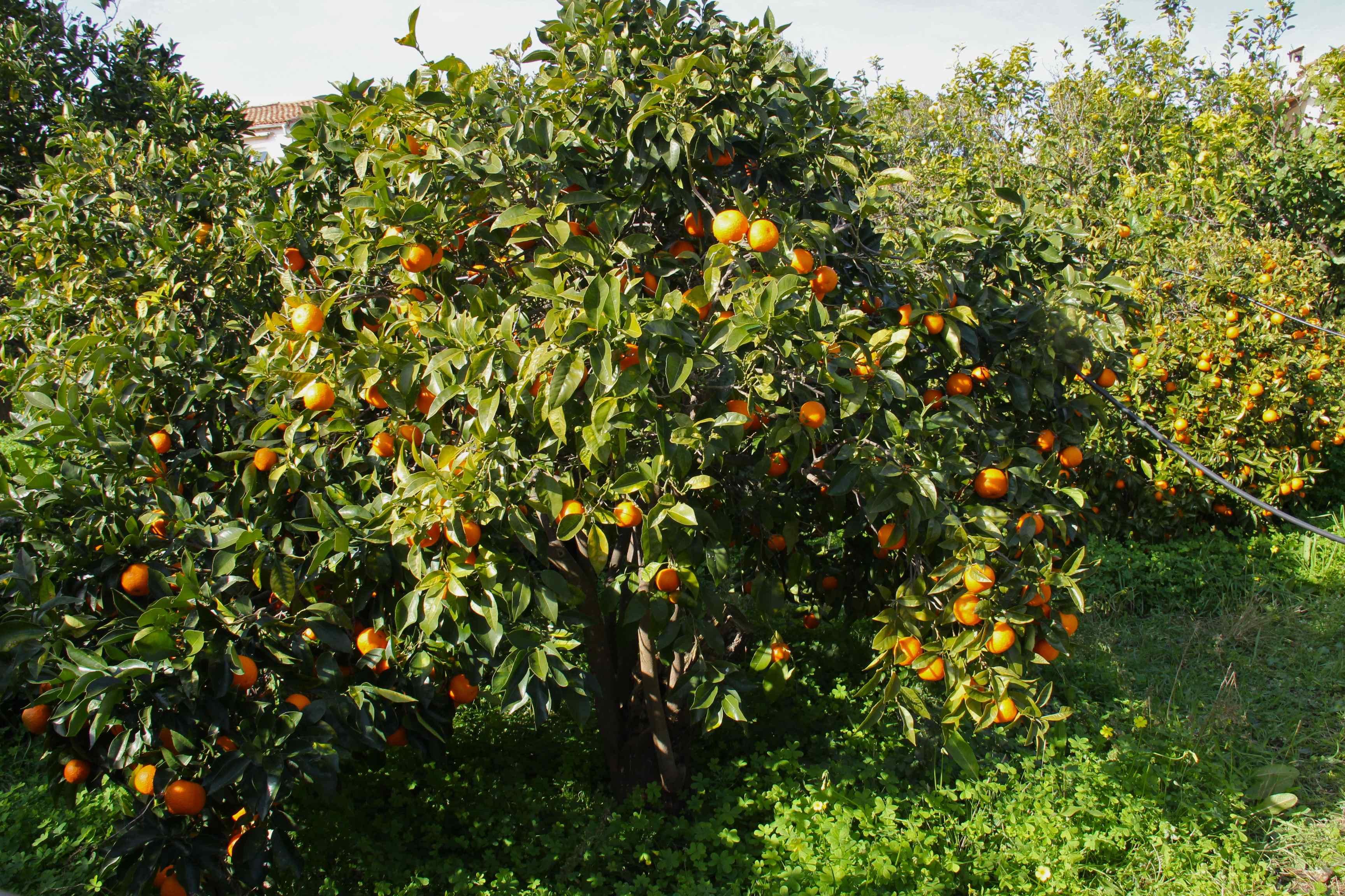 Bigaradier chargé d'oranges amères