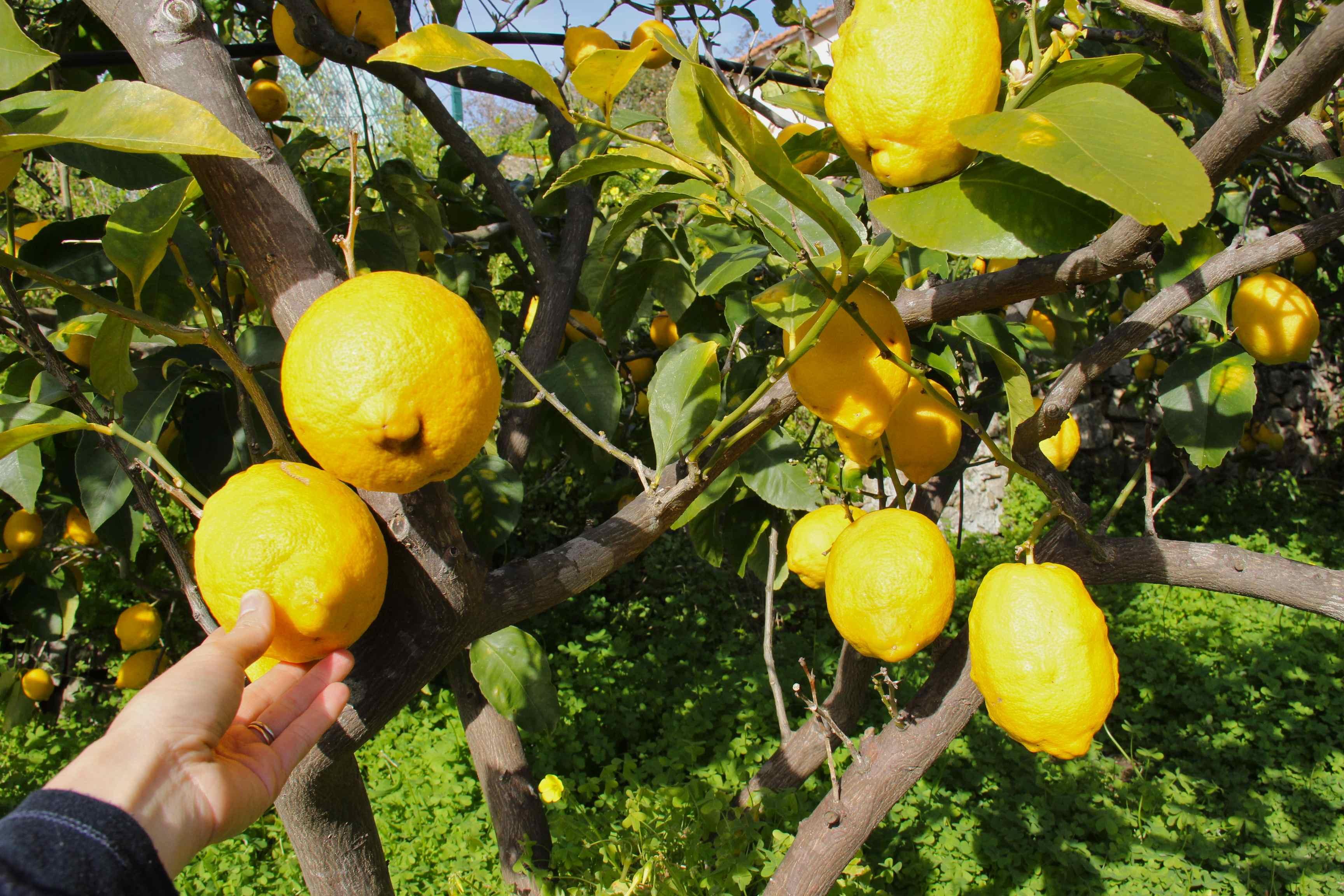 Citrons cédrat de Golfe Juan