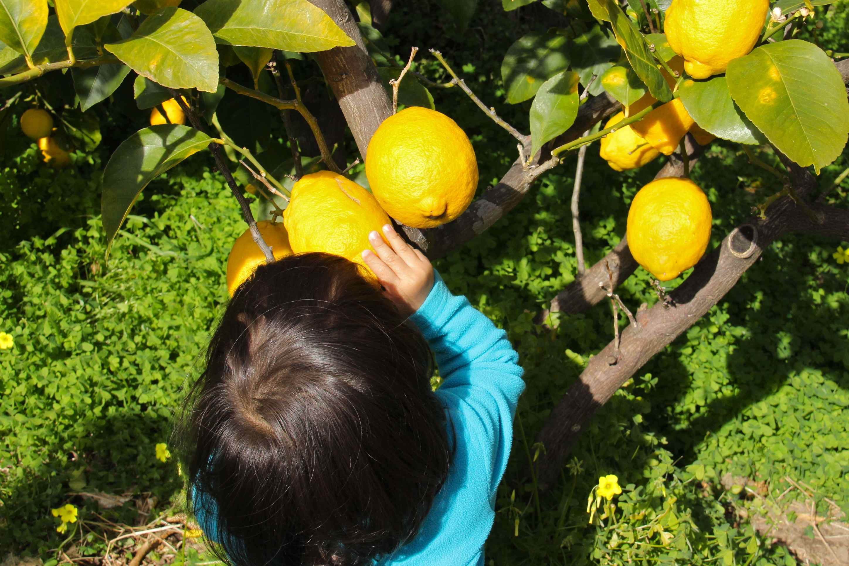 Citrons cédrat gros comme une main