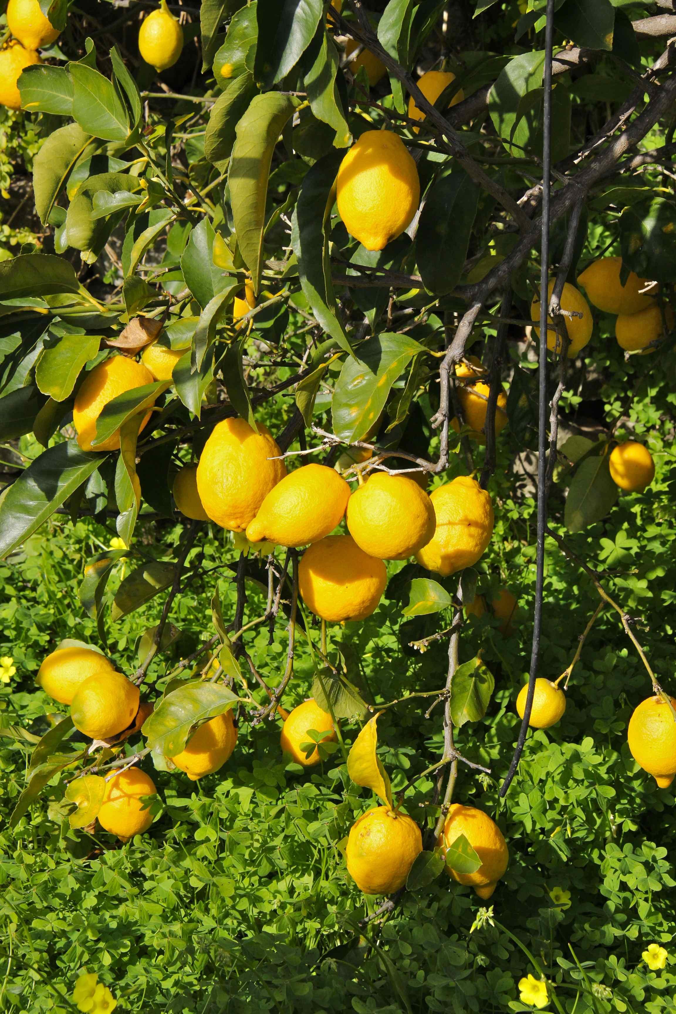 Citrons cédrat
