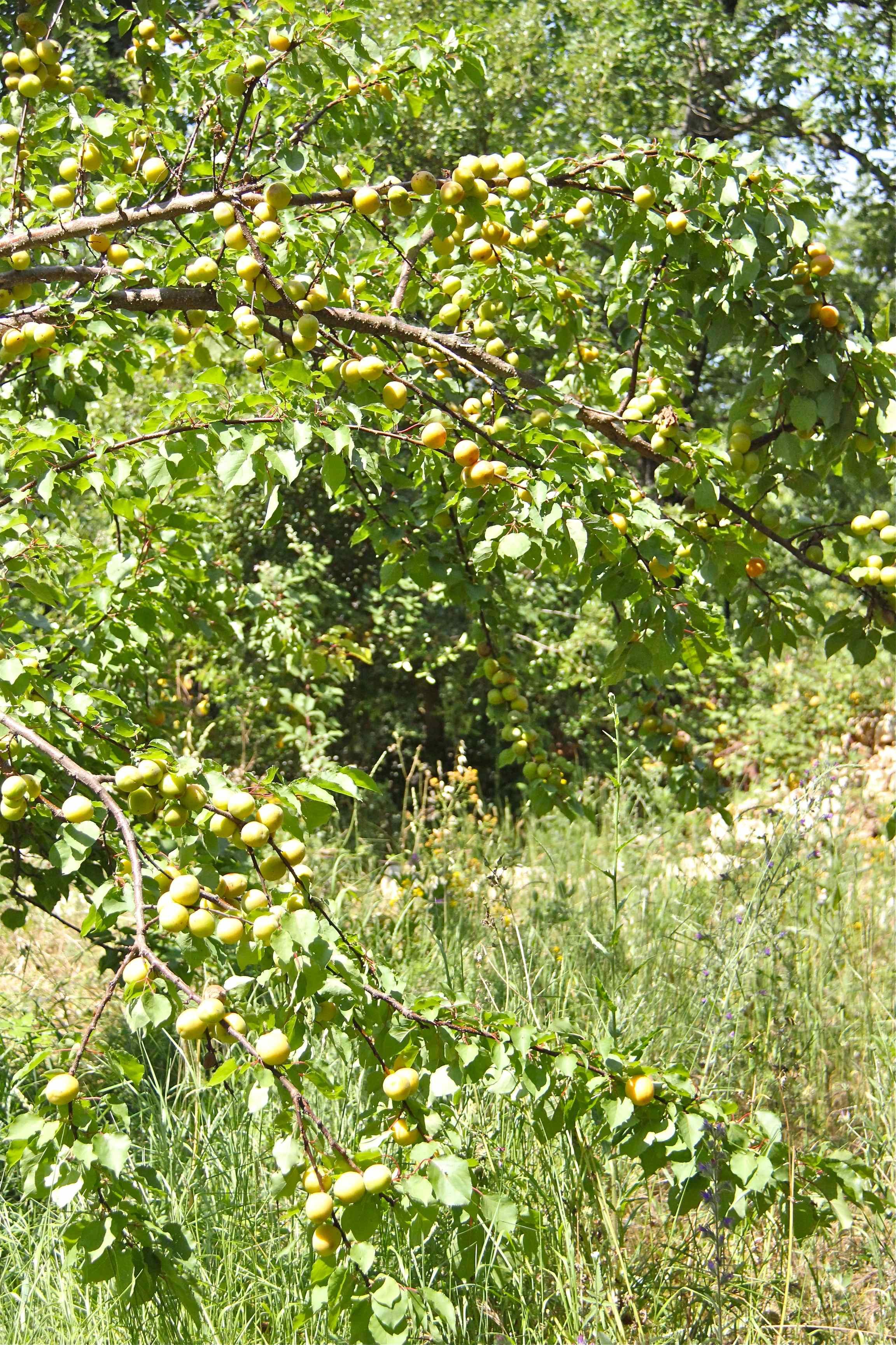 Abricotier chargé de fruits