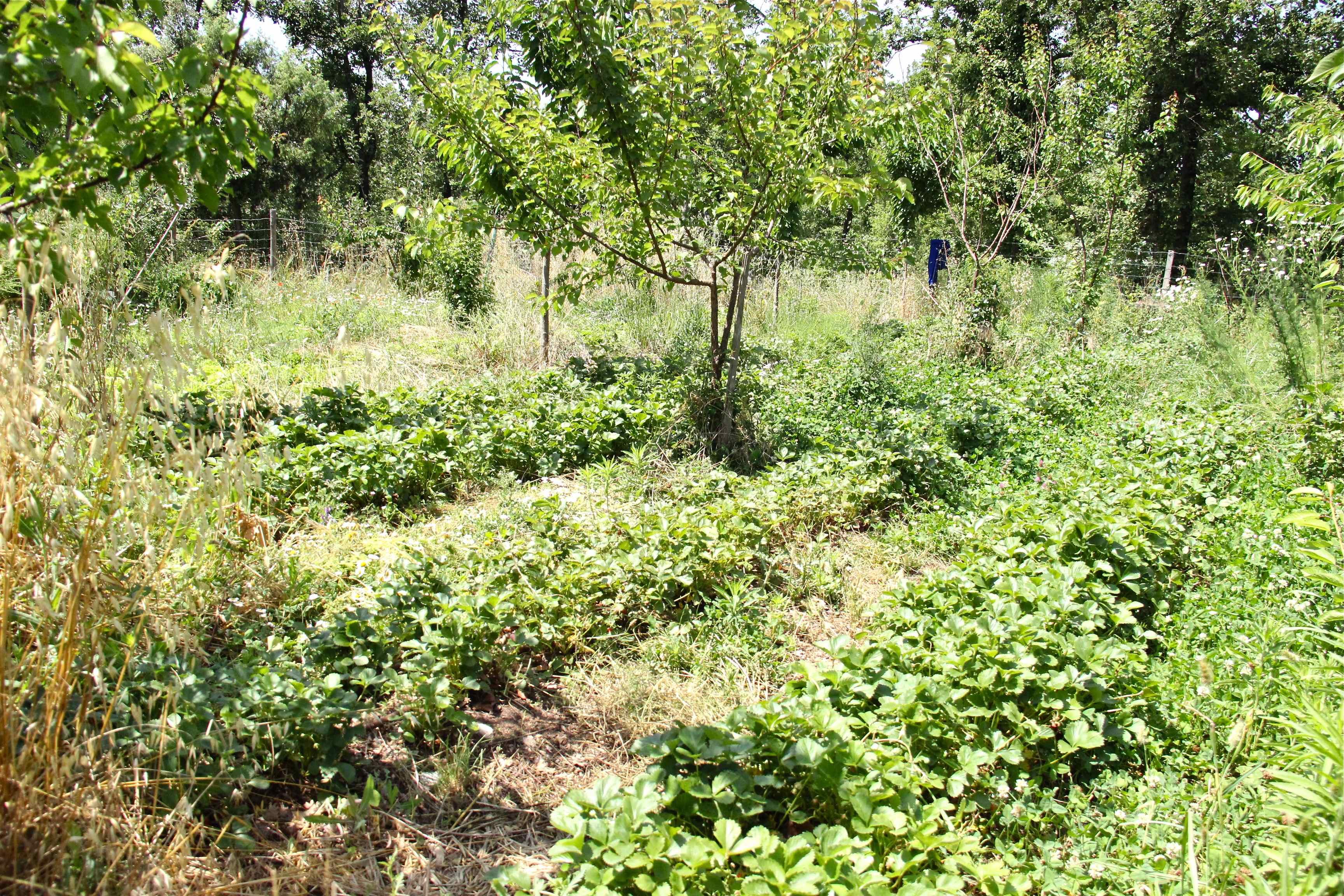 Plants de fraises en agroforesterie