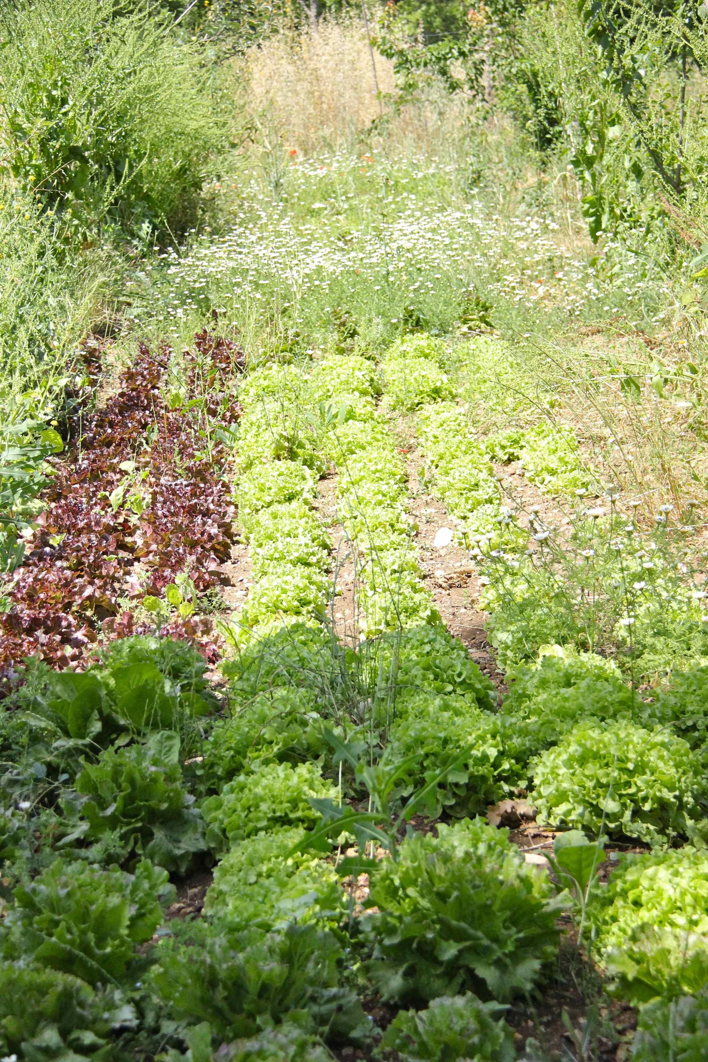 Rangées de salades en agroforesterie