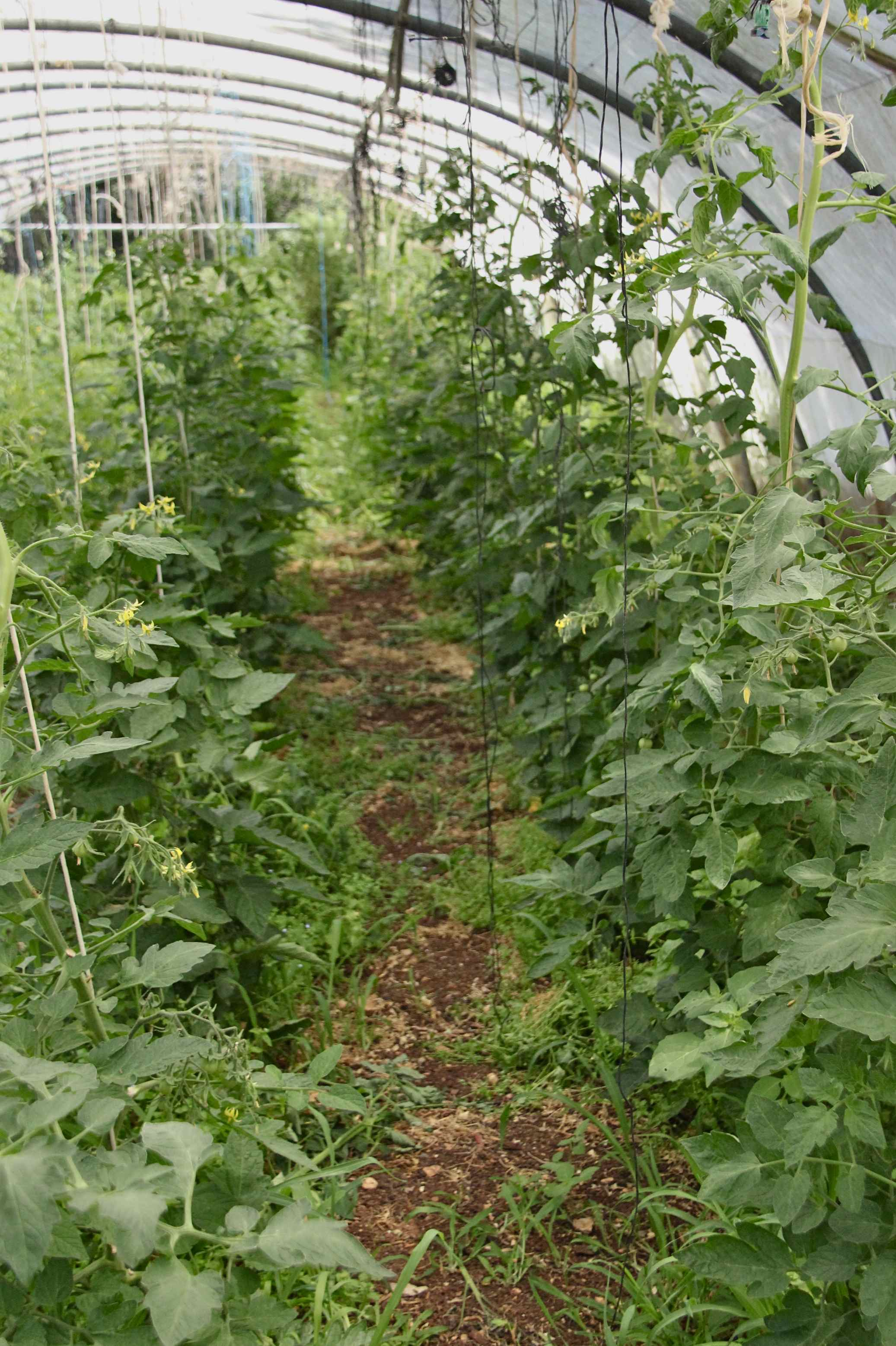 Serre de tomates bio