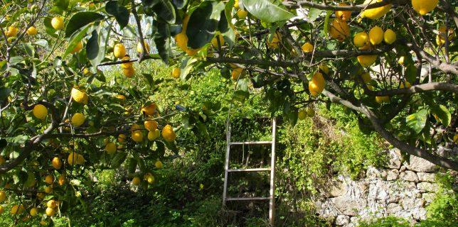 Citrons cédrat de Jean-Noël Falcou